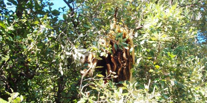 Favi costruiti da uno sciame selvatico su un albero