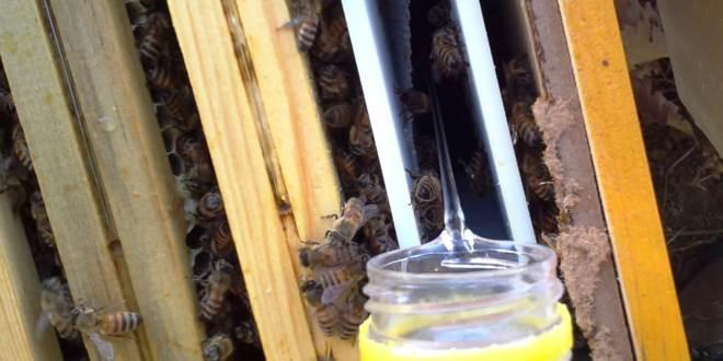 longevità delle api invernali