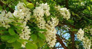 Fiori di acacia nel mese di maggio