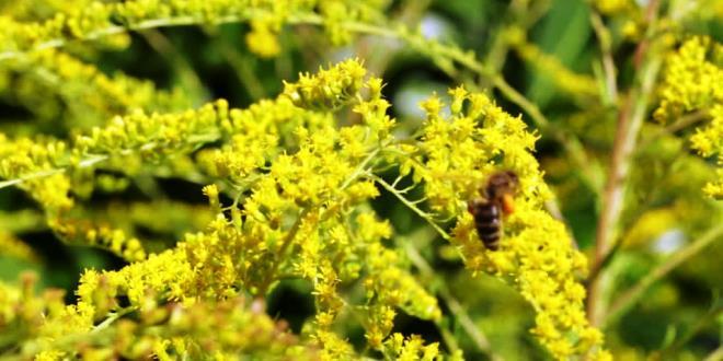 Ape che raccoglie polline su fiori