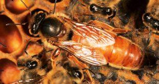 la marcatura dell'ape regina