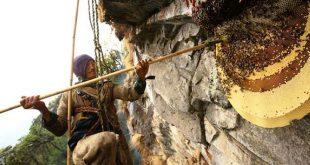Cacciatore di miele nepalese