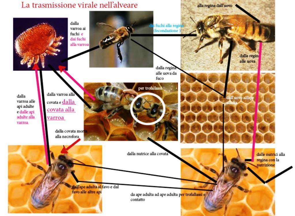 Schema che mostra la trasmissione dei virus nelle api in orizzontale e verticale