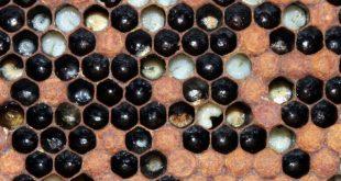Peste europea delle api