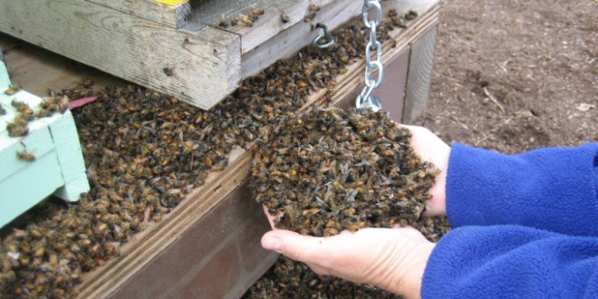 Apicoltore che preleva moltissime api morte davanti l'arnia