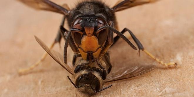Vespa velutina che uccide un ape