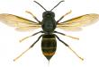 Un concorso on-line per svelare il DNA della Vespa Velutina