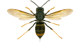 """""""LIFE for the bees"""", il DVD realizzato dal progetto LIFE STOPVESPA"""