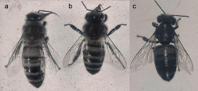 Differenza tra ape affetta da virus della paralisi cronica (CBPV) e ape sana