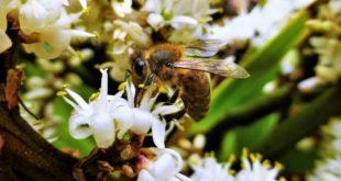 Le api e il colpo di fuoco batterico