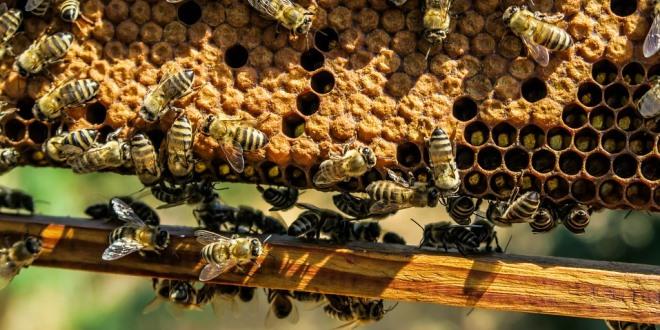 Come far costruire i telaini nuovi dalle api velocemente
