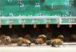 Come fanno le api a resistere al caldo