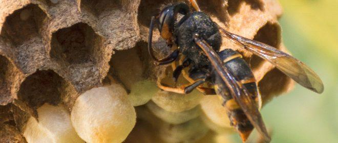 Vespa velutina, una minaccia per le api europee