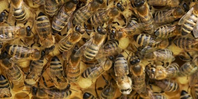 Come le api si difendono dal freddo
