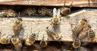 l'ape, un infallibile becchino