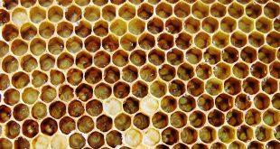 cannibalismo delle larve di api