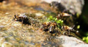 le api e l'acqua