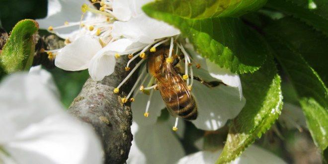 L'area di bottinaggio delle api