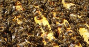 Il vero pericolo per le api sono i cambiamenti climatici
