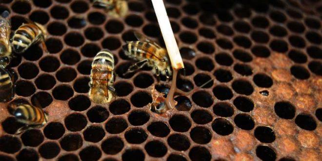 La trasmissione delle malattie infettive delle api