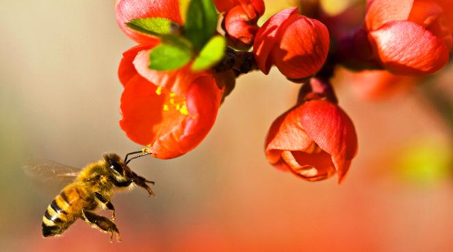 Due parassiti alleati contro le api
