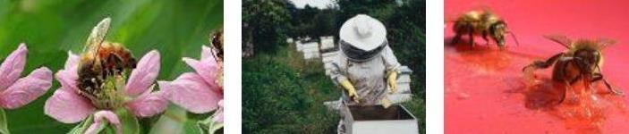 Indagine internazionale sull'antibioticoresistenza in apicoltura